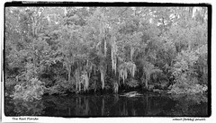 Spanish Moss in the glades (robert (Bobby)powell) Tags: blackandwhite usa nature landscape yahoo google flickr florida spanishmoss everglades fl bing ruralflorida floridawetlands flickriver floridaswamps southcentralflorida flickrfromyahoo robertbobbypowell imagesofflorida