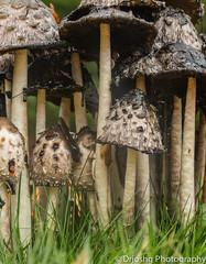 Mushroom Forest (DRJoshG) Tags: macro mushroom grass forest fungus spore