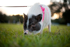 DSC_2952 (Michael Mendonca) Tags: park sunset dog pet baby white playing halloween grass contrast photoshop pig orlando nikon october florida central sigma running depthoffield software backdrop nik louie sniff leash nikkor dogpark ucf baldwinpark i4 centralflorida bluejacket universityofcentralflorida petpig 70200mmf28 50mmf14g cs5 d700 photographyclubucf