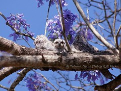 Family of frogmouths (nesting) (Tatters ) Tags: tree bird birds nest australia story series chicks presentation jacaranda nesting tawnyfrogmouth frogmouth floweringtree podargusstrigoides jacarandamimosifolia