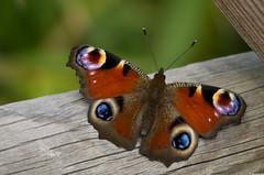 Paon du jour (Nymphalis io) (Le No) Tags: butterfly papillon 31 insecte nymphalidae hautegaronne midipyrnes nymphalisio lpidoptre stlon paondujour lauragais collectionnerlevivantautrement