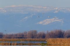 The Wild Life 12 (California Rice Commission) Tags: bird wildlife places nelson sandhillcrane crc wintermigration