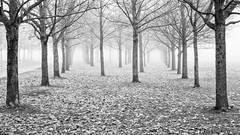Perspective 2 (Ulf Bodin) Tags: november autumn mist tree fog leaf sweden uppsala sverige höst träd dimma löf canonef50mmf12lusm uppsalalän canoneos5dmarkii salabacke salabackar