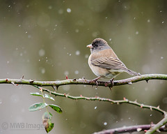 Light Snowy Day (mwbergeron01) Tags: snowflake snow bird junco rosebush darkeyedjunco oregonjunco