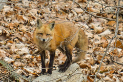 Great Falls Fox (Kavg21) Tags: winter white black cold nature leaves nose scary log eyes woods backyard nikon pretty branch wildlife relaxing peaceful windy calm fox chilly mm paws tough vr furr steady 70300 warmcolors blondhair d3200