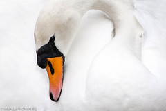 Switzerland (Manuel ROMARS) Tags: white swan sad sorrow muteswan melancoly manuelromaris