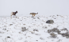 The coyote moves in on the lamb (Deby Dixon) Tags: coyote travel tourism nature photography kill wildlife chase lamb yellowstonenationalpark yellowstone prey wyoming capture predator hunt bighornsheep nikon500mm debydixonphotography truewildlifemoment incredibleevent