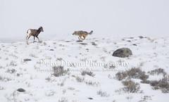 The coyote moves in on the lamb (Deby Dixon) Tags: coyote travel tourism nature photography kill wildlife chase lamb yellowstonenationalpark yellowstone prey wyoming capture predator hunt bighornsheep nikon500mm debydixonphotography truewildlifemoment incredibleevent