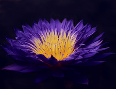 Tropical Water Lily~Explored! (j man ) Tags: life lighting friends light black flower color macro art nature water floral colors beautiful closeup composition lens photography petals cool flickr dof lily blossom pov background sony details favorites 11 depthoffield pointofview sp ii views di tropical if f2 tamron centered comments ld missouribotanicalgardens jman a300 af60mm mygearandme flickrbronzetrophygroup