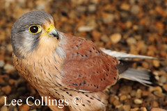 European Kestrel (Lee Collings Photography) Tags: male nature birds european wildlife falcon predator captive birdsofprey kestrel birdofprey captivity britishbirds hookedbeak