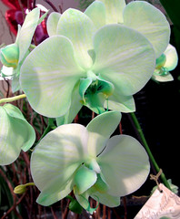 Pale Green Phalaenopsis Orchids (cobalt123) Tags: arizona orchid flower green nature phoenix phalaenopsis mintgreen iphone phalaenopsisorchid palegreen phonography pastelgreen fryssupermarket iphoneography iphone4s