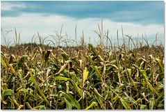 Kids Of The Corn (Sigpho) Tags: corn nikon nature sigpho