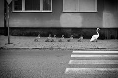 Swan family - Fujifilm X100t + red filter (polybazze) Tags: fujifilm fuji swan bird x100t monochrome blackwhite pavement street urban animal duckling