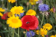 Urban Meadow (Rob_Anderson_UK) Tags: meadow poppy cornflower bedford canoneos450d cranfield sheffielduniversity