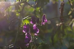 Aconitum (Theo Bauhuis) Tags: bloem flower aconitum tuin garden monkshood aconite