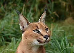 Caracal (Ukfalc) Tags: caracal cat mammal animal portrait whf wildlifeheritagefoundation canon 7dii 70300l