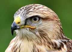 The watcher. (pstone646) Tags: bird buzzard nature wildlife watching closeup feathers animal fauna kent