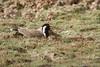 0300 Rotlappenkiebitz - Red-wattled Lapwing (uwizisk) Tags: blackneckedlapwing india indien ranthambhorenationalpark redwattledlapwing rotlappenkiebitz vanellusindicusindicus