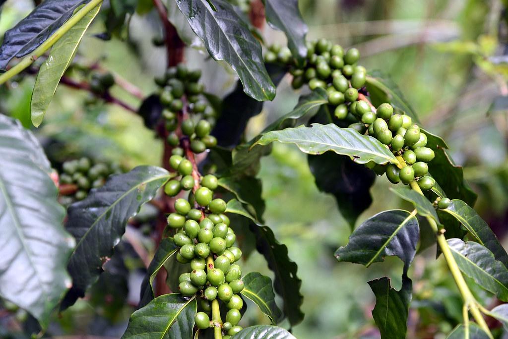豐盛莊園咖啡豆DIY
