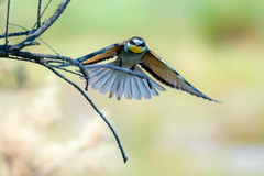 [289] Bee-Eater (waterman75) Tags: vogel bird birdwatching bienenfresser beeeater natur nature mallorca albufera