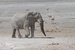 Namibia 2016 (305 of 486) (Joanne Goldby) Tags: africa africanelephant antidorcasmarsupialis august2016 elephant elephants etosha etoshanationalpark explore loxodonta namiblodgesafari namibia safari springbok antelope