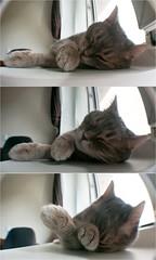 (lisrezoly) Tags: graycat  cat triptih