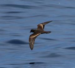 Black-Storm-Petrel (tombenson76) Tags: blackstormpetrel oceanodromamelania pacificocean losangelescounty lososos