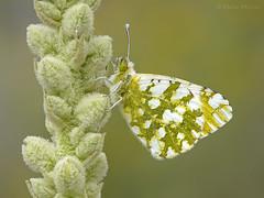 Recién nacida II (Maite Mojica) Tags: mariposa insecto artrópodo lepidóptero lepidoptera piérido pieridae euchloe crameri flor flores inflorescencia campo monte primavera eclosión nacimiento metamorfosis