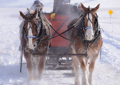 National Elk Refuge, Wyoming (T.M.Peto) Tags: horses horse cold sleigh ride snow wyoming jackson national elk refuge jacksonhole nationalelkrefuge winter travel getoutside getoutdoors sleighride winterwonderland snowhorses
