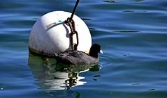 Noir et blanc (Diegojack) Tags: nikon nikonpassion d7200 eau foulques bouées morges baies léman buoyant oiseaux