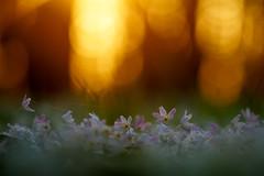 Dancing In The Sundown (lichtmaedel) Tags: anemones buwirs buschmwindrschen wald buchenwald beech beechforest forestsunset backlight flowers home mecklenburg flora spring