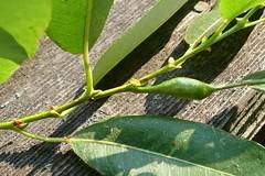 Gall on petiole of Salix lasiandra var. lasiandra (S. lucida ssp. lasiandra), PACIFIC WILLOW (openspacer) Tags: gall salicaceae salix willow jrbp jasperridgebiologicalpreserve