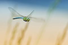 Le vol de l'Empereur (olilignan) Tags: