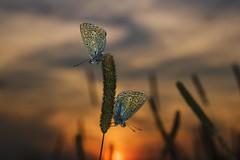 DUO (frantiekl) Tags: butterfly sun meadow sunset evening macroworld life summer detail depthoffield bokeh harmony august outdoor nature czechrepublic