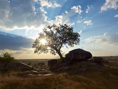Rock Fig, Serengeti, Tanzania (chuha) Tags: serengeti tanzania kopje rockoutcropping sunset africa scenery landscape tree silhouette