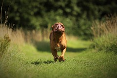 Dogue De Bordeax (laurencebissett) Tags: doguedebordeaux running dog