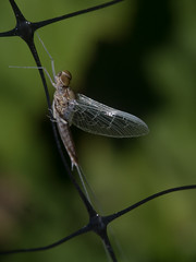 Some sort of mayfly(?) (k_kwb) Tags: wollensakcineraptar1 pentaxq pentaxlife pentaxq7 wollensak