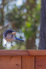 IMG_6270 (armadil) Tags: bird birds jay jays scrubjay scrubjays brusselssprout backyard