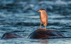 Birds-304.jpg (Black crowned night heron) (luc_pic) Tags: 200500vr d500 sunset wildlife nature river bird blackcrownednightheron heron