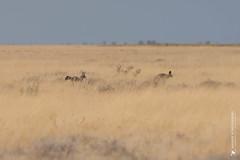 DSC_3990.JPG (manuel.schellenberg) Tags: namibia animal etosha nationalpark fox batearedfoxes