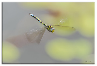 Southern Hawker Dragonfly flying in the Autumn sunshine