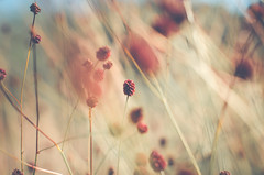 Tanzende Grser (ChristinaWieck) Tags: grser wind tanzen unscharf rot herbst 365fotosorg september