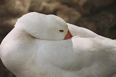 Old Blue Eyes (crafty1tutu (Ann)) Tags: animal bird goose white park richmond sydney nsw australia feathers crafty1tutu canon1dx canon28300lserieslens anncameron naturethroughthelens blueeyes