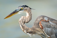 Great Blue Heron, Pinellas County, FL (Blackrock23) Tags: heron greatblueheron florida nikond500 nikon300mmpf