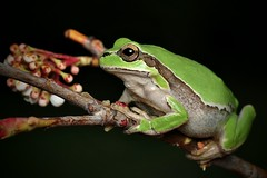 500px Photo ID: 132654431 (Blackdiamond7075) Tags: macro animal green treefrog nature tree cute frog amphibian plant horizontal wildlife outdoors looking environment leaf rainforest hanging climbing toad small copyspace multicolored resting tropicalrainforest wildlifereserve greencolor