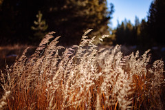 Fall grasses (beyondramen) Tags: tuolumnemeadows yosemite autumn