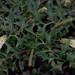 Grevillea flexuosa, Kings Park, Perth, WA, 16/08/16