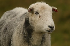 Herdwick Ewe (Derbyshire Harrier) Tags: herdwick sheep farming livestock 2016 autumn strawberryleepastures easternmoors peakdistrict peakpark rspb nationaltrust derbyshire southyorkshire grassland totleymoor ewe