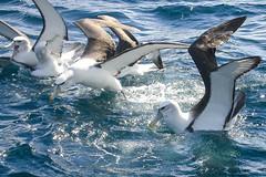 Campbell Albatross(Thalassarche impavida steadi) (sussexbirder) Tags: steadi impavida albatrossthalassarche albatrosswhitecappedcampbell