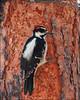 Hairy Woodpecker (pjmaudsley) Tags: freedomtosoarlevel1birdphotosonly freedomtosoarlevel2birdphotosonly